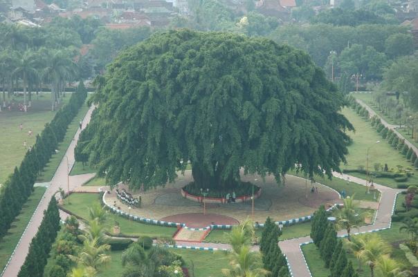 pohon beringin yang ada di tenga alun-alun nampak megah dan rindang